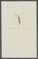 Anoplosomaton utriculus - - Print - Iconographia Zoologica - Special Collections University of Amsterdam - UBAINV0274 103 13 0003.tif