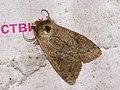 Anorthoa munda - Twin-spotted Quaker - Ранняя совка рыжеватая (26187436447).jpg