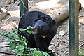 Another Asiatic Black Bear in the bear rescue centre (14418453418).jpg
