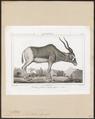 Antilope nasomaculata - 1838 - Print - Iconographia Zoologica - Special Collections University of Amsterdam - UBA01 IZ21400247.tif