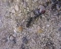 File:Ants-Cataglyphis-cursor-Use-Precisely-Directed-Rescue-Behavior-to-Free-Entrapped-Relatives-pone.0006573.s004.ogv