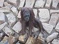 Ape - Orangutan - വാലില്ല കുരങ്ങൻ 01.JPG