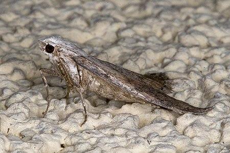 Aphomia sociella02(js), Lodz(Poland).jpg