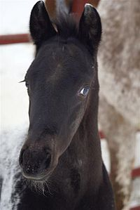 The head of an Appaloosa, showing characteristic white sclera of eye.