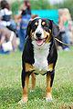 Appenzeller Sennenhund 01 K.jpg