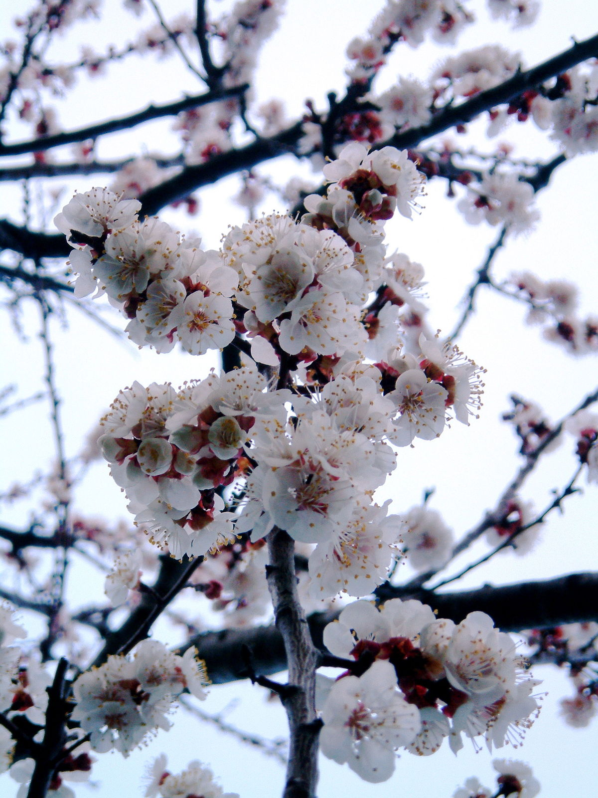 Apricot Blossom Wiktionary