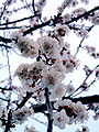 Apricot blossom detail2.jpg