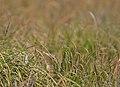 Aquatic warbler (Acrocephalus paludicola).jpg
