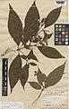 Arachnothryx ovata Kew K000174045.jpg