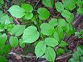 Aralia racemosa 1-jgreenlee (5097207501).jpg