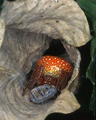 Križiak načervenalý (Araneus alsine) - samička