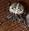 Araneus diadematus-commons.JPG