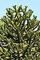 Araucaria araucana - monkey-puzzle tree - monkey tail tree - chilenische Araukarie 02.jpg