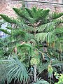 Araucaria subulata (Jardin des Plantes de Paris).jpg