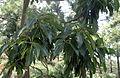 Arbutus canariensis kz9.JPG