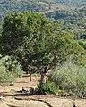 Arbutus unedo 20110828b.jpg