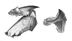 Rostrum (anatomy) - Image: Architeuthis beak