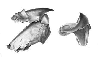 Rostrum (anatomy) - Image: Architeuthis beak