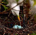 Ardea alba nest - Andrea Westmoreland.jpg