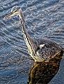 Ardea cinerea Graureiher grey heron 01.jpg