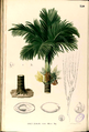 Areca catechu Blanco2.350-original.png