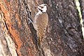 Arizona Woodpecker (female) Cave Creek Ranch Portal AZ 2016-02-24at09-29-421 (46891415245).jpg