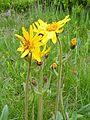 Arnika-Blüten, Ahornwies.jpg