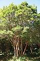 Arrayán (Luma Apiculata) en Parque Nacional Chiloé.jpg