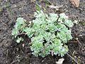 Artemisia schmidtiana 'Nana' 01.JPG