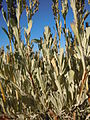 Artemisia tridentata vaseyana (5033859973).jpg