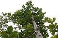 Artocarpus heterophyllus 17zz.jpg