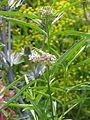 Asclepias fascicularis - Flickr - peganum (1).jpg