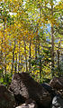 Aspens on Bill Williams Mountain (21908648261).jpg