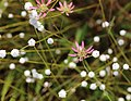 Aster rugulosus and Eriocaulon nudicuspe.JPG