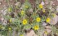 Asteriscus graveolens.jpg