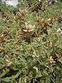Astragalus sempervirens 001.JPG