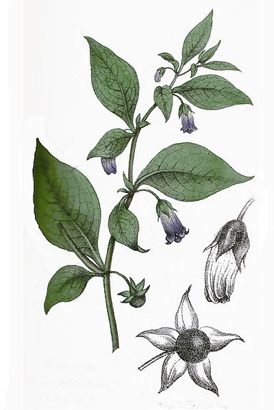 Belladona, hierbas medicinales, brujas