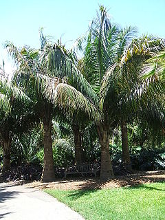 <i>Attalea crassispatha</i> palm species
