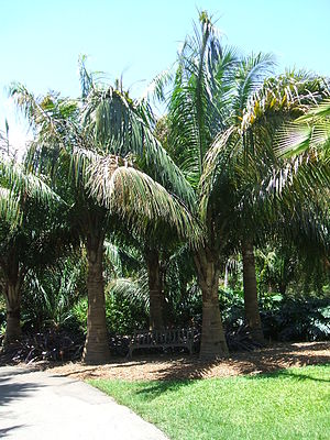 Attalea (palm) - Attalea crassispatha, a Haitian endemic, is the most geographically isolated species in the genus.