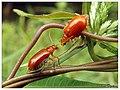 Aulacophora indica (15504982425).jpg
