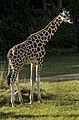 Australia Zoo Giraffe-2 (17998331829).jpg