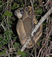 Western Woolly Lemur Wikipedia