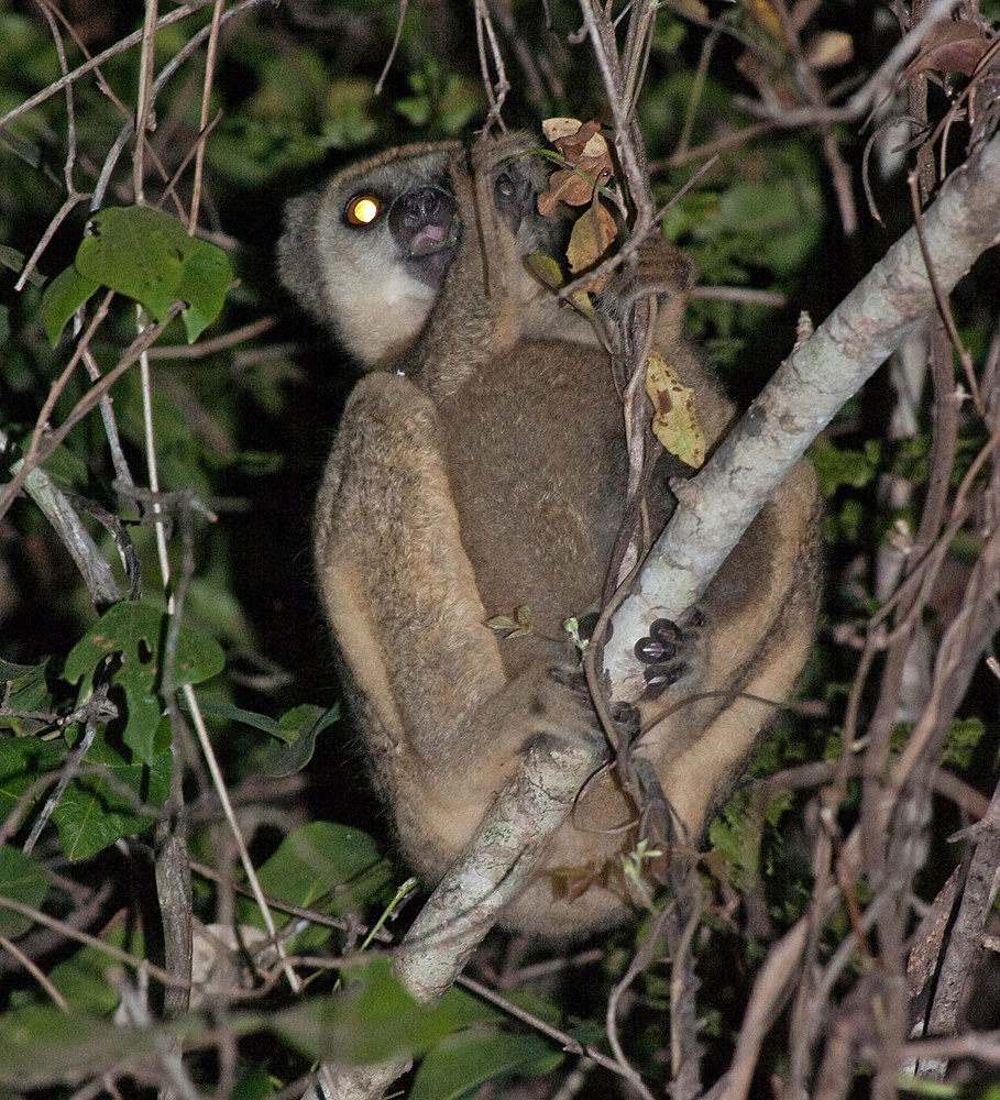 The average litter size of a Western woolly lemur is 1