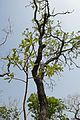 Bénin-Terminalia mollis (2).jpg