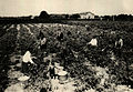 BASA-1323K-1-46-9-Rose harvests in Bulgaria.JPG