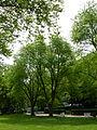 BE Acer saccharinum.JPG