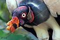 BIRD KING VULTURE SURINAM AMAZONE SOUTH-AMERICA (32202834653).jpg