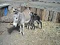 BORRIQUITO DE 11 DIAS, EJIDO EL RECREO, SALTILLO COAHUILA - panoramio (1).jpg