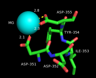 Bornyl diphosphate synthase - The aspartate rich segment helps stabilize the magnesium ion that activates the pyrophosphate leaving. Only D351 and D355 directly interact with the magnesium, but the entire aspartate-rich domain is shown for convenience. The numbers represent the coordination distance in angstroms.