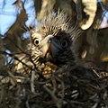 Baby Black-crowned Night Heron (4631819766).jpg